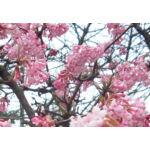Kikeleti bangita / Viburnum x bodnantense 'Dawn'