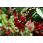 Bristol Ruby rózsalonc / Weigela hybrida 'Bristol Ruby'