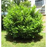 Babérmeggy / Prunus laurocerasus Sp.