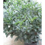 Cippora babérmeggy / Prunus laurocerasus 'Cippora'
