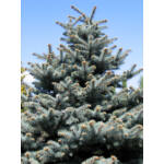 Ezüstfenyő  / Picea pungens 'Glauca'