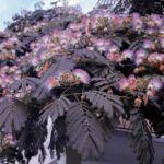 Bordólevelű selyemakác / Albizia julibrissin 'Summer Chocolate'