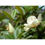 D.D. Blanchard örökzöld liliomfa / Magnolia grandiflora 'D.D. Blanchard' - 30-40