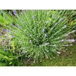 Levendula / Lavandula angustifolia