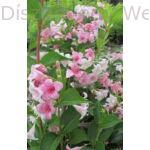 Kínai rózsalonc virágpompa