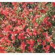 Japánbirs virágzás