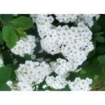 Kerti gyöngyvessző virágpompa