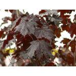 Vérjuhar levelei