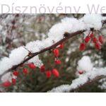 Japán vérborbolya hóban