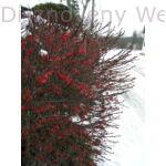 Japán vérborbolya télen, termésdíszben