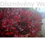Japán vérborbolya ősszel