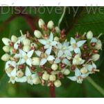 Fehér som virágzat
