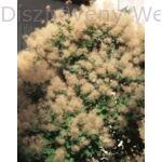 Cserszömörce habitus virágzásban