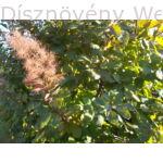 Cserszömörce  lombozat, virágzat