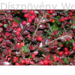 kerti terülőmadárbirs őszi lombszín, termésdísz