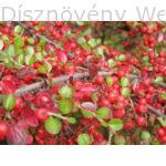 Kerti terülőmadárbirs kezdődő őszi lombszín, termésdísz