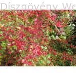 Kerti terülőmadárbirs kezdődő őszi lombszín