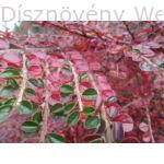 Kerti terülőmadárbirs őszi lombszín
