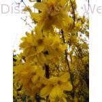 Beatrix Farrand aranycserje virágos vessző