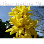Beatrix Farrand aranycserje virág