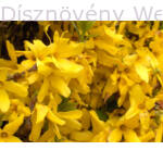 Lynwood aranycserje virágtömeg