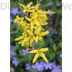 Lynwood aranycserje virágzó vessző
