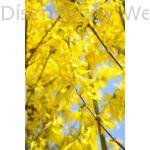 Lynwood aranycserje virágzó vesszők