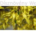 Minigold aranycserje virágok