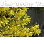 Minigold aranycserje virágzó vessző