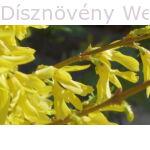 Minigold aranycserje virágzó vesszők
