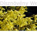 Minigold aranycserje virágzás