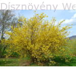 Kerti aranycserje tavaszi virágpompa
