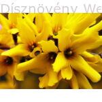 Kerti aranycserje virág