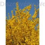 Kerti aranycserje virágzó vesszők