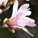 Susan liliomfa virág