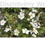 Cserjés pimpó fehér virágú Beanii