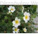 Cserjés pimpó fehér virágú