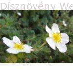 Cserjés pimpó fehér virág