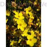 Cserjés pimpó sárga virágú