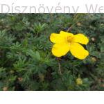 Cserjés pimpó sárga virág