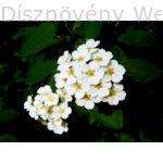 Kerti gyöngyvessző virág