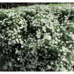 Kerti gyöngyvessző virágyás