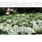 Kerti gyöngyvessző virágok, levelek