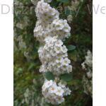 Kerti gyöngyvessző virágzó vessző
