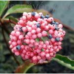 Pink Beauty bangita sokszínű termés