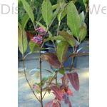 Pink Beauty bangita színesedő levelek, termés