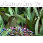 Kikeleti bangita virág, télen