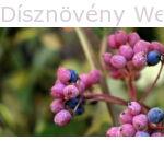 Pink Beauty bangita színes termése