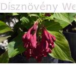 Bristol Ruby rózsalonc bimbózó virágok