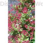 Bristol Ruby rózsalonc virágzás